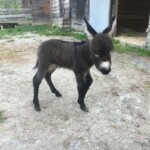 Un âne miniature (mâle castré)